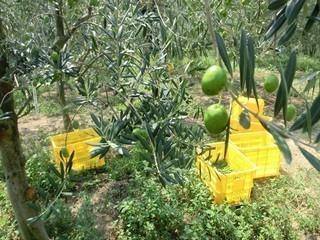 olive26sennmaida20017_R-1b683-thumbnail2.jpg